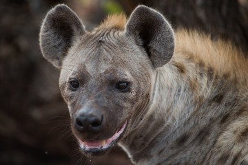 Garden Poster Hyena Closeup shot of a panting hyena with a blurred background