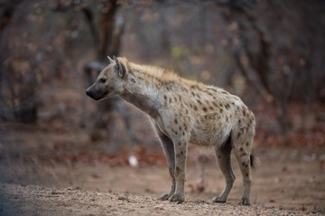 Deurstickers Hyena Spotted hyena standing on the ground ready to hunt a prey