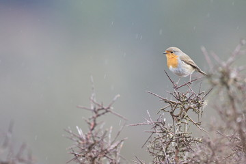 Larrabetzu, Bizkaia/Spain; Feb. 09, 2020. Rainny day in the field. European robin (Erithacus rubecola) in a blackthorn (Prunus spinosa) bush in winter.