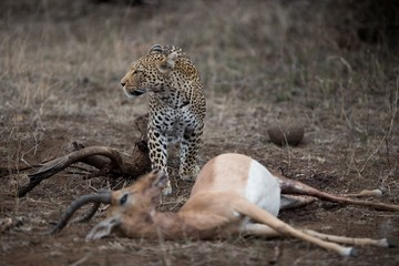 Selective focus shot of an african leopard with a dead impala antelope