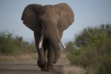 Foto op Canvas Olifant Beautiful shot of an african elephant walking on the road with a blurred background