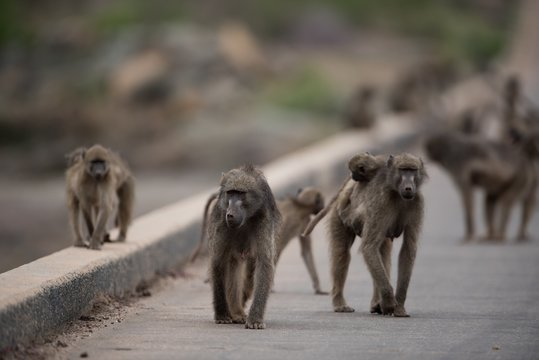 Group of baboon monkeys walking on the road with a blurred background