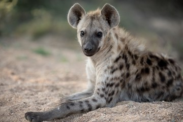 In de dag Hyena Closeup shot of a spotted hyena resting on the ground with a blurred background