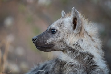 Closeup shot of a spotted hyena with a blurred background