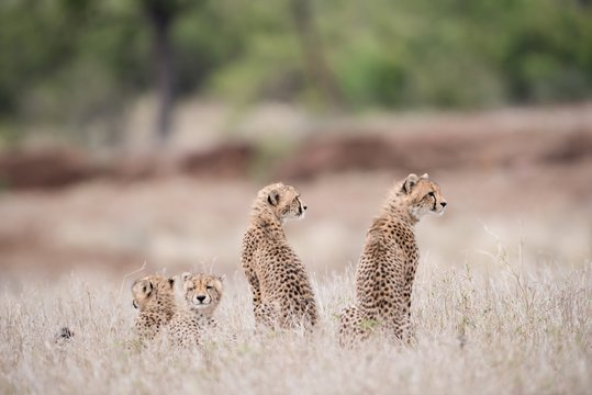 Beautiful shot of baby cheetahs sitting on the bush waiting for their mother