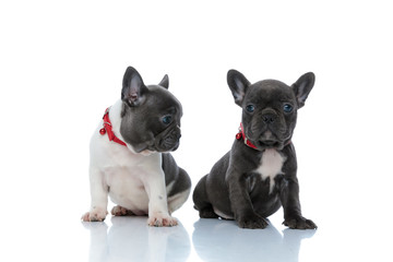Eager French bulldog curiously looking to his sibling
