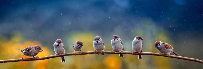 natural panoramic photo with little funny birds and Chicks sitting on a branch in summer garden in the rain