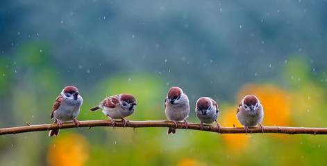 Tuinposter Vogel natural background with small funny birds sparrows sitting on a branch in a summer garden under a tree rain