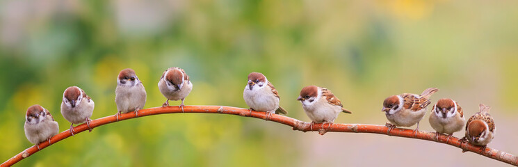 panoramic photo with a flock of funny birds and Chicks sparrows sit on a branch in a summer Sunny garden and chirp Fotobehang