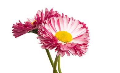 In de dag Madeliefjes daisy flower isolated