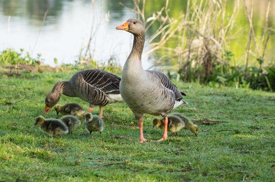 greylag goose ,greylag geese with chicks