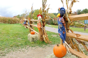 Scarecrow and Pumpkin in from of Corn Field, Stowe, Vermont.