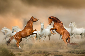 Foto op Canvas Paarden Stallions fighting in desert