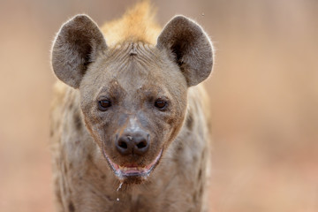 Tuinposter Hyena Hyena in the wilderness of Africa