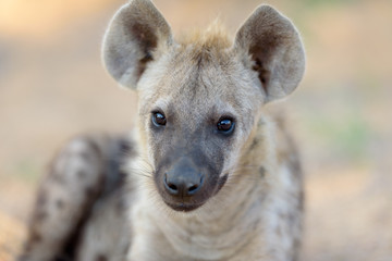 Poster Hyena Hyena puppy, Hyena pup, baby hyena in the wilderness of Africa