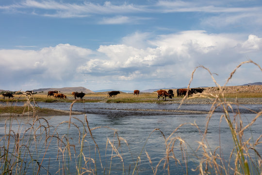 Highland river valley with yellow grass, white clouds and blue sky, The beautiful landscape of Mongolia near the city of Karakorum. Cristal clear water in a mountain creek. cows graze in background