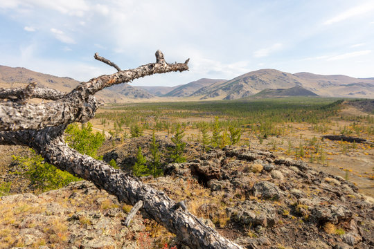 Single withered branch of a tree on stony ground near extinct volcano Khorgo . The barren but beautiful landscape of central  Mongolia in Autumn, Blue sky with white clouds. Mountains in background