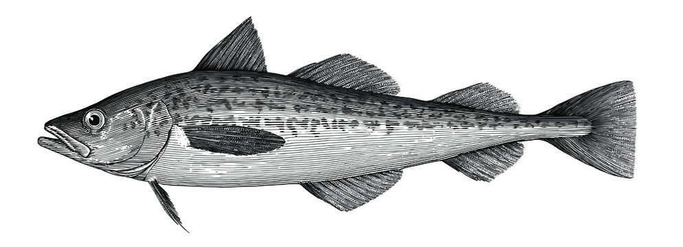 Illustration of Alaska pollock in a vintage style