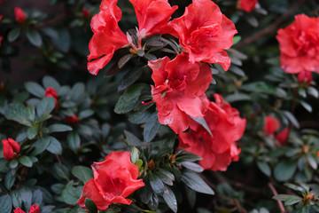 Red flowers of azalea plant. Flowering shrubs.