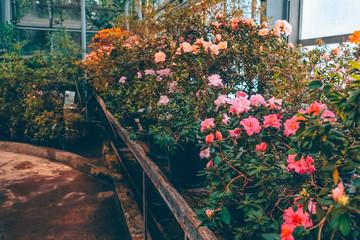 Growing potted Azalea flowers in a greenhouse. Flowering plant nursery. Gardening.