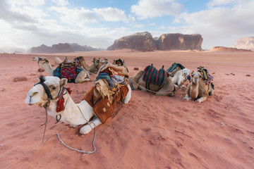 Foto op Aluminium Kameel Group of camels chilling on sand at Wadi Rum desert in Jordan