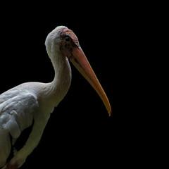 Milky Stork Portrait