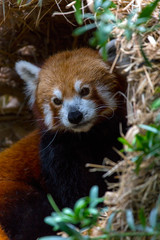 Red Panda Closeup