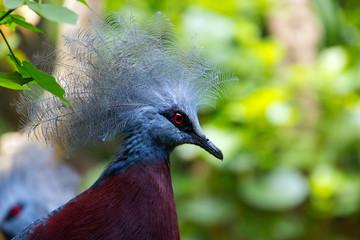 Crowned Pigeon Closeup