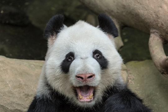 Panda Bear Open Mouth Portrait