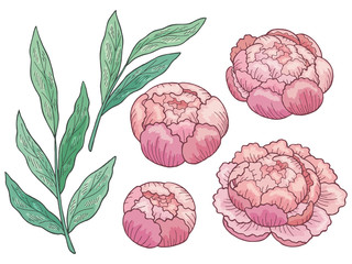 Peony flower graphic color isolated sketch set illustration vector