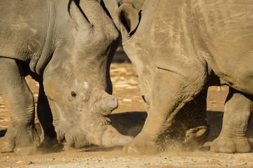 Foto op Aluminium Neushoorn two rhinos tussle over food at a South African rhino horn farm.