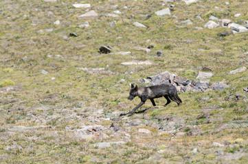 Tibetan Wolf, Canis lupus filchneri, Ladakh, India