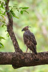 Changeable hawk Eagle or crested hawk-eagle, Nisaetus cirrhatus,Tadoba, Maharashtra, india,