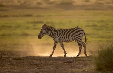 Zebra Walking and backlight, Amboseli, Africa