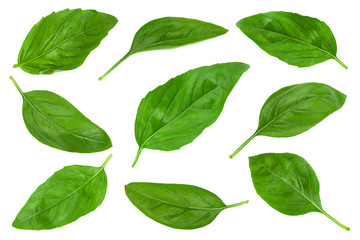 Green basil herb isolated collection