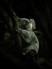 Foto op Textielframe Koala コアラ koala 1