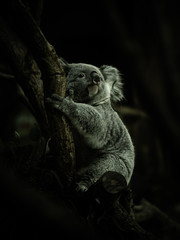 Printed roller blinds Koala コアラ koala 1