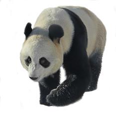 Photo sur cadre textile Panda Giant panda (Ailuropoda melanoleuca), also known as panda bear or simply panda, on white background