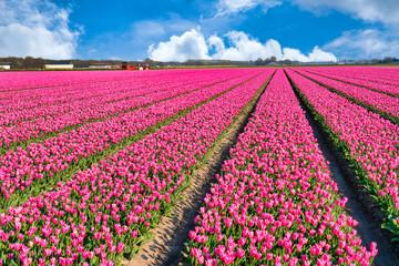 Photo sur Plexiglas Rose banbon Tulpenblüte Holland