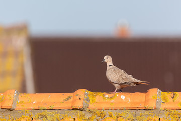 Eurasian collared dove (Streptopelia decaocto) sitting on a roof on Juist, East Frisian Islands, Germany.