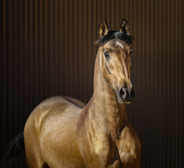 Fototapete - Golden dun young Spanish horse on striped background.