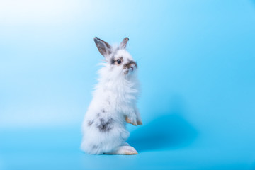 The adorable rabbit is standing on its hind legs and looking back over shoulder on light blue background.