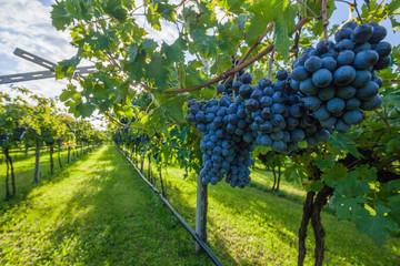 grape harvest Italy Fototapete