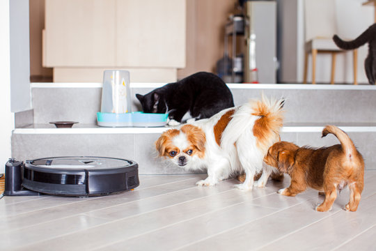 Dogs and cats playing together at home while robotic vacuum cleaner cleaning the room