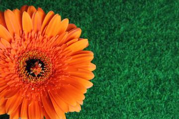 Poster Gerbera large orange gerbera flower on a background of green grass lawn