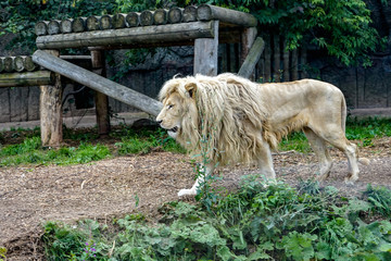 A big pure white male lion in this photo taken on safari in Africa