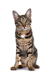 Wall Mural - Cute young Savannah F7 cat, sitting facing front. Looking at camera with green / yellow eyes. Isolated on a white background.