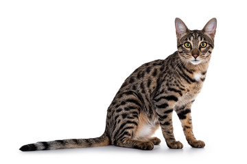 Wall Mural - Cute young Savannah F7 cat, sitting side ways. Looking beside camera with green / yellow eyes. Isolated on a white background.
