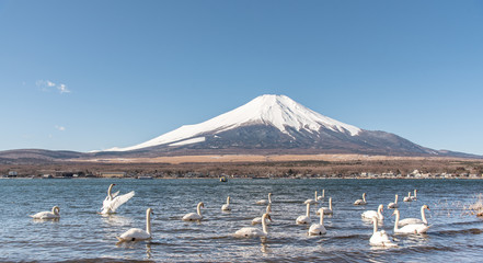 Foto op Aluminium Zwaan Mount Fuji with swan lake, Travel landscape in Japan.