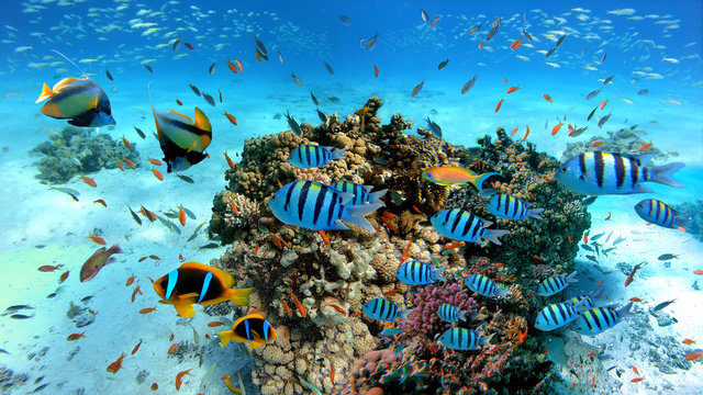 Underwater scene with exotic fishes and coral reef of the Red Sea, Clownfish, Bannerfish, Sergeant-major fish, Goldfish and other marine life near Hurghada, Egypt